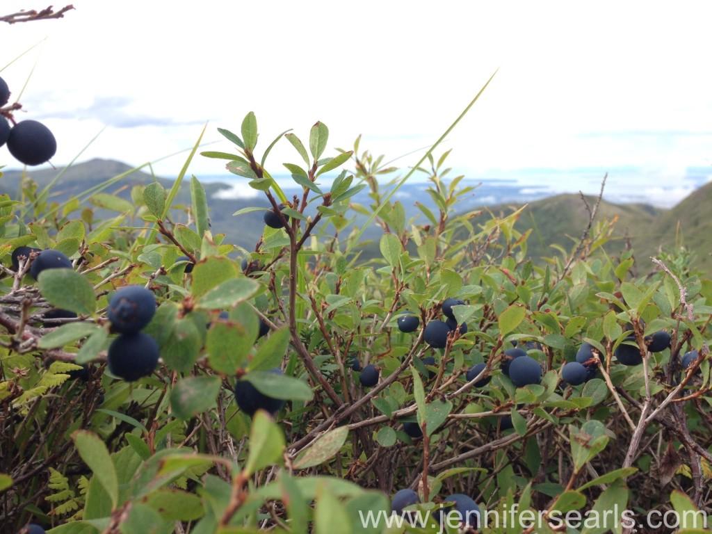 Alaska Blueberries