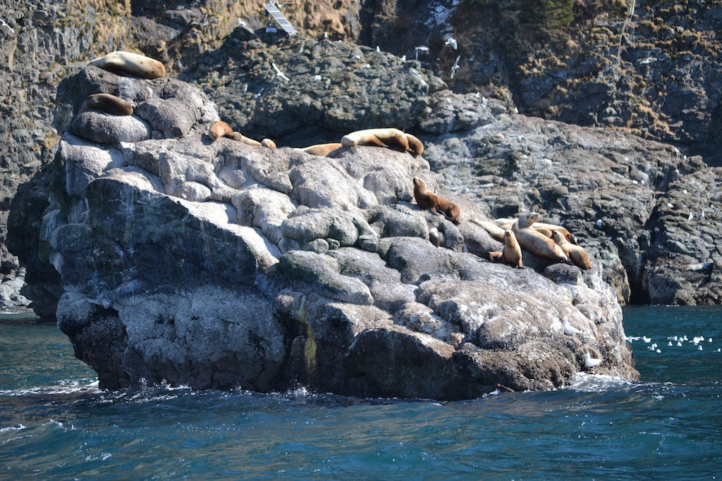 grey whale watching cruise_sea lions