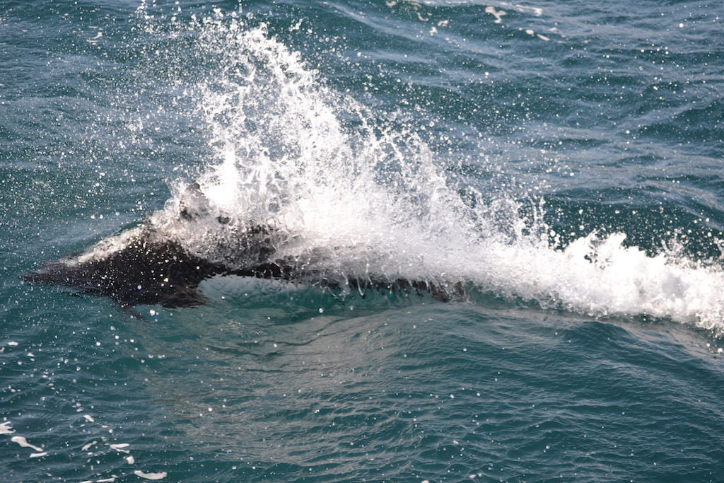 grey whale watching cruise_porpoise