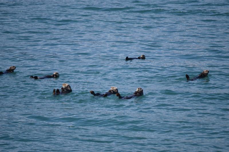 Major Marine Tours Otters